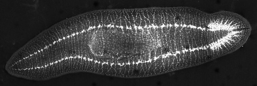 Stain of the nervous system of a planaria